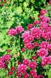 Purple Chrysanthemum Stock Images