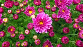 Purple Chrysanthemum Natural Background royalty free stock image