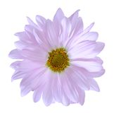 Purple  chrysanthemum Stock Photos