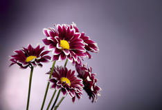 Purple Chrysanthemum on Spot Lit Background Stock Images