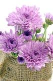 Purple Chrysanthemum. stock photos