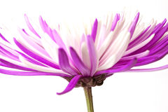 Purple chrysanthemum. Isolated on white background Stock Photo