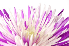 Purple chrysanthemum. Isolated on white background Stock Image