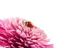 Purple chrysanthemum Royalty Free Stock Images