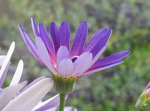 Purple Chrysanthemum. Young flower on Chrysanthemum plant Royalty Free Stock Photo