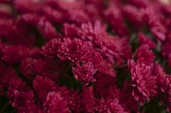 Purple chrysanthemums in the backgrounds. Purple beautiful flowers. A bouquet of chrysanthemums stock photo