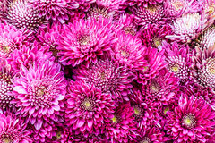 Purple Chrysanthemums Royalty Free Stock Images
