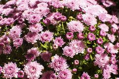 Purple chrysanthemums Stock Images