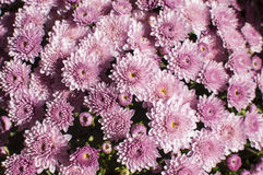 Purple chrysanthemums Stock Photo