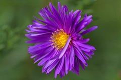 Purple chrysanthemums closeup Royalty Free Stock Photo