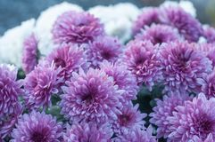 Purple chrysanthemums flowers in the cemetery. Closeup of purple chrysanthemums flowers in the cemetery Royalty Free Stock Images