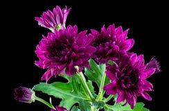 Purple Chrysanthemums Stock Image
