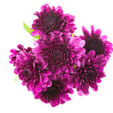 Purple Chrysanthemums isolated on white Stock Image