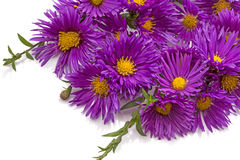 Purple chrysanthemums on white Royalty Free Stock Photography