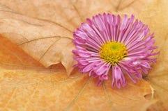 Purple chrysanthemums on yellow autumn leaves Stock Photos