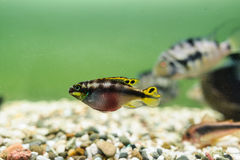 Purple Cichlid fish stock photos