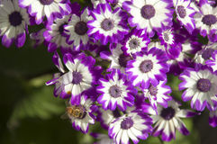 Purple Cineraria Stock Photography