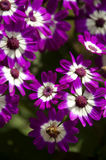 Purple Cineraria Stock Photos