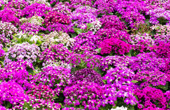 Purple cineraria Royalty Free Stock Photography