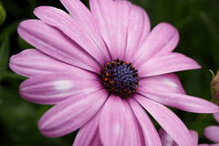 Purple Cineraria. One Beautiful Light Purple Cineraria in the garden Hong Kong Flower Show 2015, for decoration, planation, plant Stock Photo