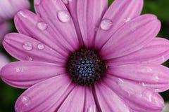 Purple Cineraria Stock Images