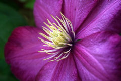 Purple Clematis Stock Image