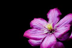 Purple Clematis Stock Photography