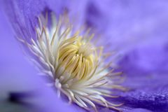Purple clematis. Flower royalty free stock photos