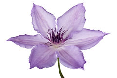 Purple clematis Royalty Free Stock Image