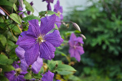 Purple Clematis Stock Photo