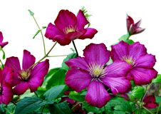 Purple clematis Royalty Free Stock Photo