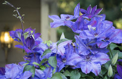 Purple Clematis in bloom in front yard Royalty Free Stock Photography