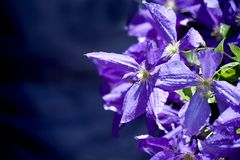 Purple clematis blossoming Royalty Free Stock Images