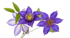 Purple clematis Royalty Free Stock Photos