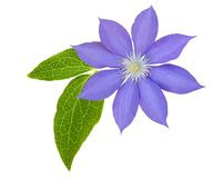 Purple clematis branch Stock Photo