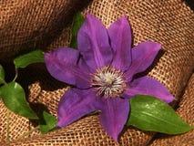 Purple Clematis on Burlap Royalty Free Stock Photos