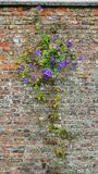 Purple Clematis clinging to old worn brick wall in English Garden royalty free stock photography