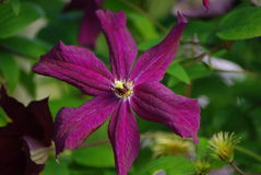Purple clematis flower Stock Images