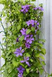 Purple clematis flower Royalty Free Stock Photography