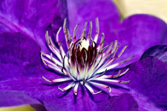 Purple Clematis Flower Center Closeup Royalty Free Stock Photo