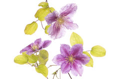 Purple clematis flower cutout Royalty Free Stock Photos