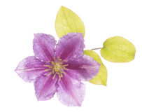 Purple clematis flower cutout Royalty Free Stock Photography
