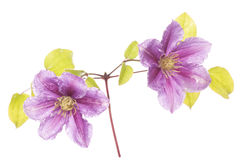 Purple clematis flower cutout Royalty Free Stock Image