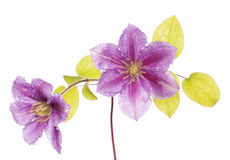 Purple clematis flower cutout Stock Photo
