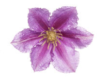 Purple clematis flower cutout Stock Images