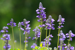 Purple clematis flower Stock Image