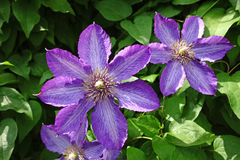 Purple clematis flower Stock Photos