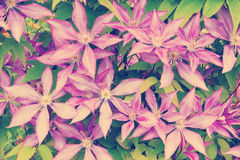 Purple clematis flower heads Royalty Free Stock Photos