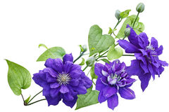 Purple clematis Flower Stock Image