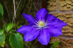 Purple clematis flower. Large purple clematis flower against brick wall stock photography